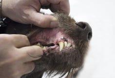 Κτηνίατρος που εξετάζει τα δόντια σκυλιών στοκ φωτογραφία
