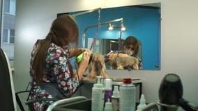 Κτηνίατρος που τακτοποιεί ένα τεριέ του Γιορκσάιρ με έναν κουρευτή ζώων τρίχας σε μια κλινική κτηνιάτρων απόθεμα βίντεο
