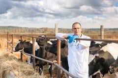 Κτηνίατρος στα αγροτικά βοοειδή Στοκ Εικόνα