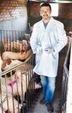Κτηνίατρος στο χοιροστάσιο Στοκ Εικόνα