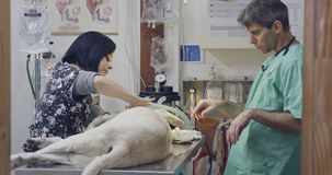 Κτηνιατρική χειρουργική επέμβαση - κτηνίατρος που ενεργοποιεί ένα άσπρο σκυλί σε μια κλινική κατοικίδιων ζώων φιλμ μικρού μήκους