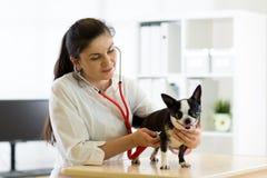Κτηνιατρικοί γιατρός και σκυλί Chihuahua στο ασθενοφόρο κτηνιάτρων Στοκ εικόνες με δικαίωμα ελεύθερης χρήσης