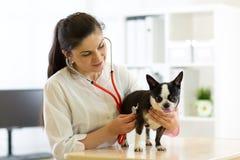 Κτηνιατρικοί γιατρός και σκυλί Chihuahua στο ασθενοφόρο κτηνιάτρων Στοκ Εικόνα