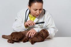 Κτηνιατρικό να φανεί αυτί και μαλλί μιας γάτας κάνοντας την εξέταση στην κλινική στοκ εικόνες