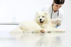 Κτηνιατρικό πόδι σκυλιών εξέτασης στον πίνακα στην κλινική κτηνιάτρων Στοκ Εικόνες