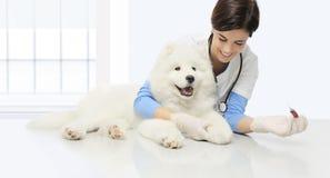 Κτηνιατρικό σκυλί εξέτασης, εξέταση αίματος, κτηνιατρικό πνεύμα χαμόγελου Στοκ φωτογραφία με δικαίωμα ελεύθερης χρήσης