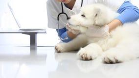 Κτηνιατρικό σκυλί εξέτασης στον πίνακα στην κλινική κτηνιάτρων διαγωνισμός των δοντιών, των αυτιών και της γούνας φιλμ μικρού μήκους