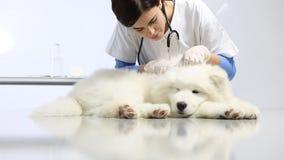 Κτηνιατρικό σκυλί εξέτασης στον πίνακα στην κλινική κτηνιάτρων διαγωνισμός της καρδιάς, των δοντιών, των αυτιών, της γούνας και τ απόθεμα βίντεο