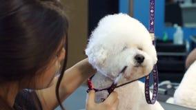 Κτηνιατρικό ψαλίδι περικοπών κλινικών γιατρών κινηματογραφήσεων σε πρώτο πλάνο ένα σκυλί Bichon Frise φιλμ μικρού μήκους