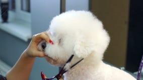 Κτηνιατρικό ψαλίδι περικοπών κλινικών γιατρών κινηματογραφήσεων σε πρώτο πλάνο ένα σκυλί Bichon Frise απόθεμα βίντεο