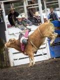 Κτυπήματα αναβατών πέρα από τον ταύρο Στοκ Φωτογραφίες