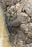 Κτυπήστε την αράχνη ή το χωρίς ουρά σκορπιό Στοκ Εικόνα