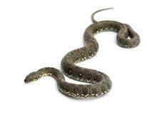 Κτυπήστε το φίδι, viridiflavus Hierophis, που απομονώνεται πράσινος Στοκ φωτογραφίες με δικαίωμα ελεύθερης χρήσης