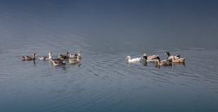 Κυανή λίμνη με την πάπια Στοκ Φωτογραφίες