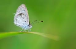 Κυανή πεταλούδα άνοιξη Στοκ Εικόνες