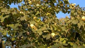 Κυδώνι στο δέντρο απόθεμα βίντεο