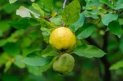 Κυδώνι της Apple σε ένα δέντρο Στοκ Εικόνες