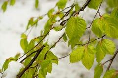 Κυκλώνας χιονιού τον Απρίλιο Πράσινα φύλλα των δέντρων που καλύπτονται με το χιόνι στοκ εικόνα