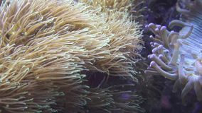 Κυμαιμένος μαλακό κοράλλι φιλμ μικρού μήκους