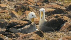 Κυματισμένο ζευγάρι άλμπατρος που τα φτερά τους στο espanola isla galapagos στοκ εικόνες