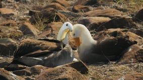 Κυματισμένο ζευγάρι άλμπατρος που τα φτερά τους στο espanola isla galapagos φιλμ μικρού μήκους