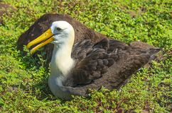 Κυματισμένο πορτρέτο άλμπατρος, Galapagos, Ισημερινός στοκ εικόνες