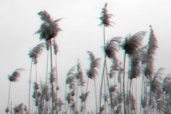 Κυματισμός των σπόρων των καλάμων στην επίδραση δυσλειτουργίας Κάλαμος από τον ποταμό στο υπόβαθρο του μπλε ουρανού στοκ εικόνες