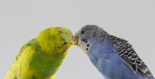 Κυματιστοί παπαγάλοι φιλιών Τα μικρά πουλιά άγγιξαν το ένα το άλλο &#x27 ράμφη του s στοκ φωτογραφίες