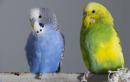 Κυματιστοί παπαγάλοι φιλιών Τα μικρά πουλιά άγγιξαν το ένα το άλλο &#x27 ράμφη του s στοκ εικόνα με δικαίωμα ελεύθερης χρήσης