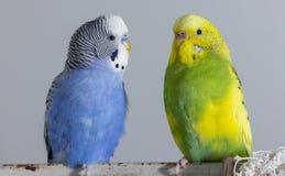 Κυματιστοί παπαγάλοι φιλιών Τα μικρά πουλιά άγγιξαν το ένα το άλλο &#x27 ράμφη του s στοκ εικόνες με δικαίωμα ελεύθερης χρήσης