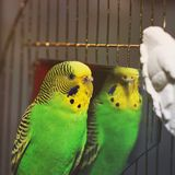 Κυματιστός παπαγάλος κοντά στον καθρέφτη στοκ φωτογραφία