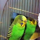 Κυματιστός παπαγάλος κοντά στον καθρέφτη στοκ εικόνες
