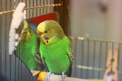 Κυματιστός παπαγάλος κοντά στον καθρέφτη στοκ εικόνες με δικαίωμα ελεύθερης χρήσης