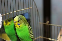 Κυματιστός παπαγάλος κοντά στον καθρέφτη στοκ φωτογραφία με δικαίωμα ελεύθερης χρήσης