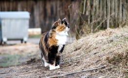 Κυνήγια γατών τρεις-χρώματος σε ένα κλίμα της ξηράς χλόης Στοκ εικόνα με δικαίωμα ελεύθερης χρήσης