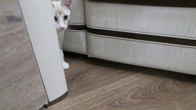 Κυνήγια νέα γατών από πίσω από το γραφείο απόθεμα βίντεο