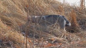 Κυνήγια της δυτικής σιβηρικά Λάικα στην ξηρά χλόη απόθεμα βίντεο