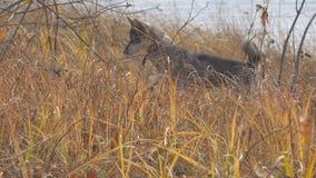 Κυνήγια της δυτικής σιβηρικά Λάικα φυλής σκυλιών στην ξηρά χλόη Το σκυλί πιάνει το ποντίκι απόθεμα βίντεο