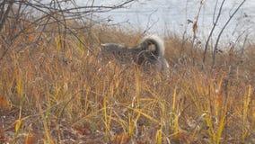 Κυνήγια της δυτικής σιβηρικά Λάικα φυλής σκυλιών στην ξηρά χλόη Το σκυλί πιάνει το ποντίκι φιλμ μικρού μήκους