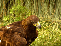 κυνήγι αετών πραγματικό στοκ εικόνες με δικαίωμα ελεύθερης χρήσης