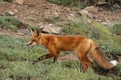 κυνήγι αλεπούδων Στοκ Εικόνες