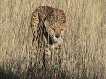 Κυνήγι λεοπαρδάλεων Στοκ εικόνες με δικαίωμα ελεύθερης χρήσης