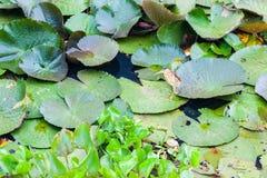 Κυνήγι ερωδιών Ardeidae στο Lotus Στοκ φωτογραφία με δικαίωμα ελεύθερης χρήσης