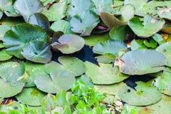 Κυνήγι ερωδιών Ardeidae στο Lotus Στοκ Εικόνες