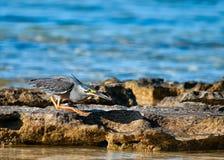 Κυνήγι ερωδιών για τα ψάρια Στοκ Φωτογραφίες