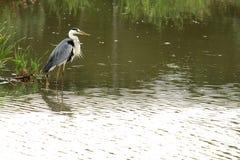 κυνήγι ερωδιών πουλιών Στοκ φωτογραφίες με δικαίωμα ελεύθερης χρήσης