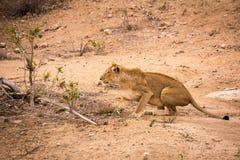Κυνήγι λιονταρινών στο εθνικό πάρκο Kruger, Νότια Αφρική Στοκ φωτογραφίες με δικαίωμα ελεύθερης χρήσης