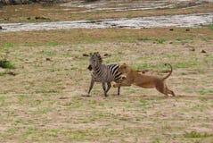 Κυνήγι λιονταριών στοκ εικόνες