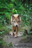 Κυνήγι λύκων στο δάσος Στοκ εικόνες με δικαίωμα ελεύθερης χρήσης