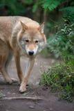 Κυνήγι λύκων στο δάσος Στοκ φωτογραφία με δικαίωμα ελεύθερης χρήσης